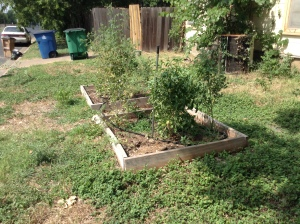 Side Yard Tomato Garden