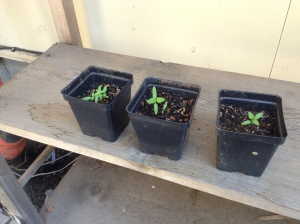 Spinach seedlings