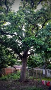 Big Oak - 6/29/2015 (post-trimming