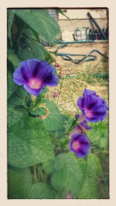 Morning Glories, 7/19/2015