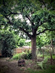 The Big Oak - 6/28/2015 (Pre-trimming)