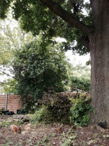 Chicks under big oak and brush pile.