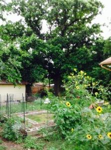 The Big Oak - 6/28/2015 (pre-trimming) wide shot