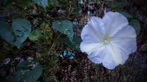 Blurry moonflower mobile phone pic.