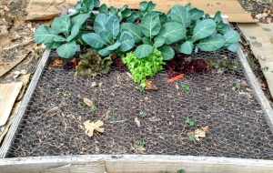 Brsl Sprts, Collards, Lettuces, and my little seedlings of various things. :)