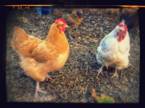 The new girls: Buffy the Vampire Slayer & Big Mama. A neighbor needed to rehome them, so we integrated them into the flock!