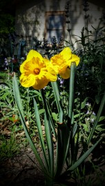 Happy Daffodils - March 19, 2016