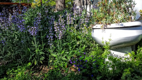 Sage and Violet in the Toilet Garden - March 19, 2016